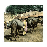 Tangier (Morocco)  Camels at the Market (Soko)  Circa 1885