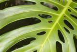 Close-Up of a Philodendron or Monstera Leaf. Papier Photo par Design Pics/Allan Seiden