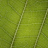 Leaf Veins Connecting