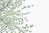 White Spring Blossom and Green Sprigs