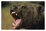 Grizzly Bear calling  North America