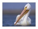 American White Pelican North America