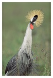 Grey Crowned Crane  Kenya