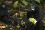 Black Crested Macaque Female Feeding on a Coconut