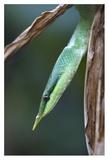Rhinoceros Snake in tree  Costa Rica