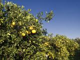Orange Trees  Crete  Greece