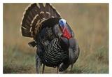 Wild Turkey male  North America