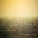 Vineyard in Mist