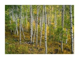 Aspen forest  Colorado
