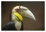 Wreathed Hornbill male  Malaysia