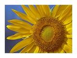 Common Sunflower flower  North America