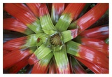 Bromeliad flower  Costa Rica