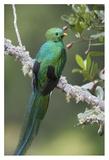 Resplendent Quetzal male  Costa Rica