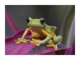 Gliding Leaf Frog portrait  Costa Rica
