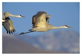 Sandhill Cranes flying  North American