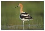American Avocet in breeding plumage wading though shallow water  North America