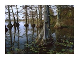 Bald Cypress at upper Blue Basin  Reelfoot National Wildlife Refuge  Tennessee
