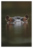 Hippopotamus at water surface  Tanzania