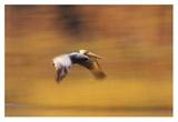 Brown Pelican flying  North America