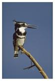 Pied Kingfisher calling  Kenya
