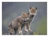 Gray Wolf pups in light snowfall  North America