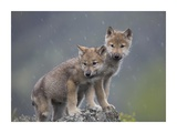 Gray Wolf pups in light snowfall  North America