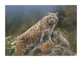 Bobcat mother and kittens  North America