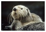 Sea Otter floating in kelp, North America Reproduction d'art par Tim Fitzharris