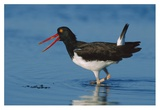 American Oystercatcher wading  North America