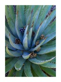 Agave plants with pine cones  North America