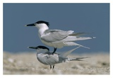Sandwich Tern couple courting  North America