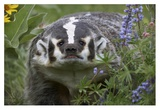 American Badger amid Lupine  North America