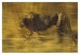 Cheetah running through dry grass  Zimbabwe