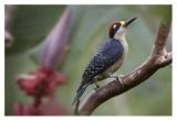 Black-cheeked Woodpecker male  Costa Rica