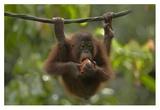 Orangutan young eating fruit  Sabah  Borneo  Malaysia