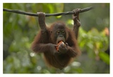 Orangutan young eating fruit, Sabah, Borneo, Malaysia Reproduction d'art par Tim Fitzharris