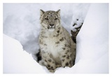 Snow Leopard adult portrait in snow  native to Asia