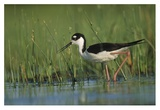 Black-necked Stilt wading through reeds  North America