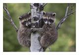 Raccoon two babies climbing tree  North America