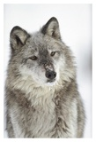 Timber Wolf portrait with snow on muzzle  Montana