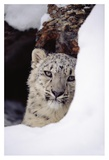 Snow Leopard adult  looking out from behind a snowbank