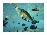 Green Sea Turtle  Balicasag Island  Philippines