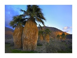Real Fan Palm Anza-Borrego Desert  California
