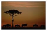 Blue Wildebeest herd migrating at sunset  Kenya