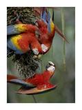 Scarlet Macaw trio feeding on palm fruits  Costa Rica