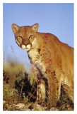 Mountain Lion or Cougar portrait  North America
