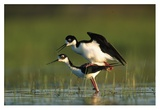 Black-necked Stilt couple mating  North America