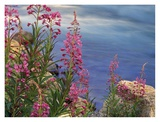 Fireweed against flowing stream  North America