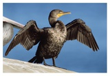 Double-crested Cormorant drying wings  California
