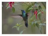 Green Violet-ear hummingbird foraging  Costa Rica